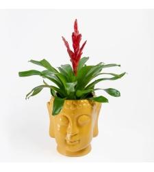 וריזאה אדומה עם כלי בודהה