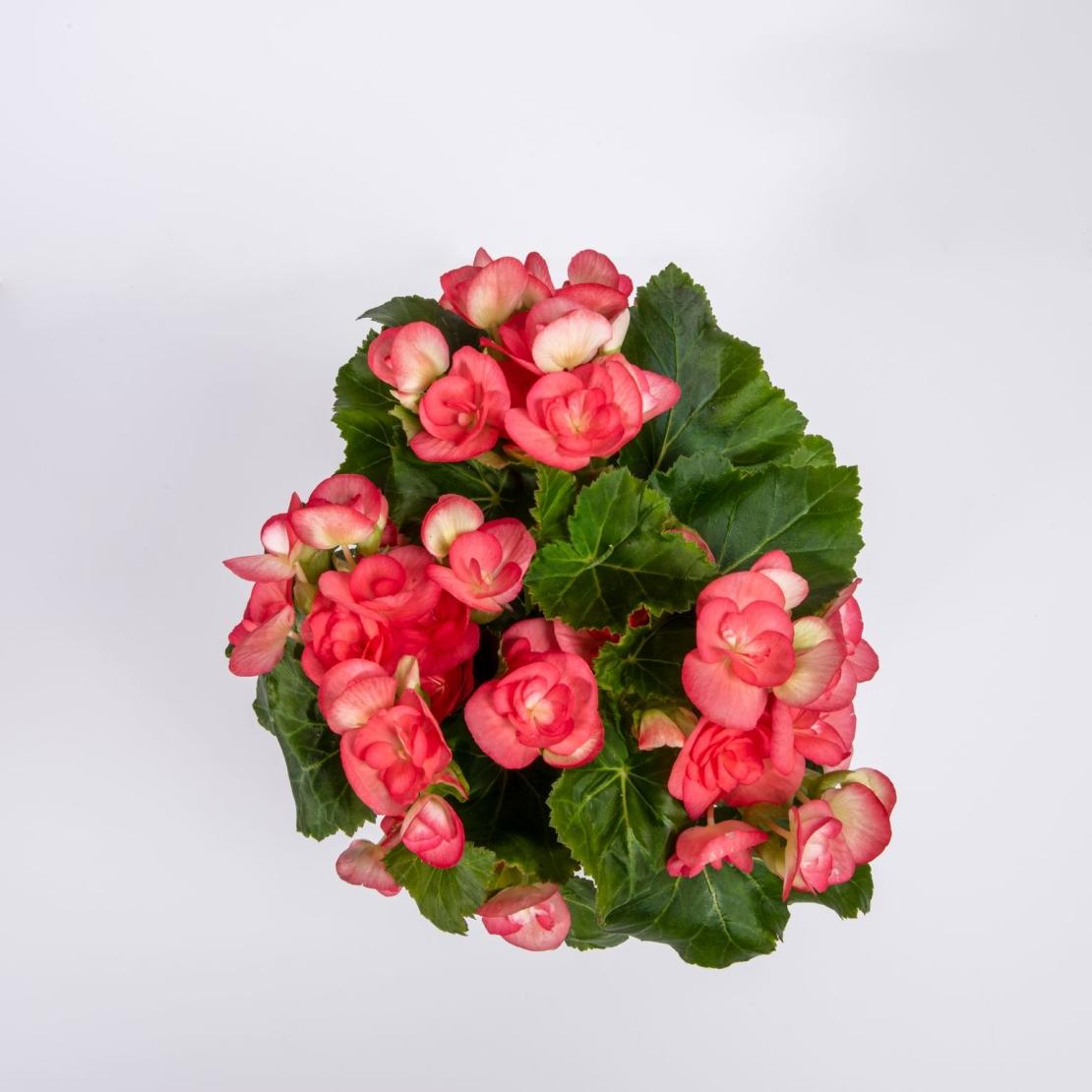 ביגוניה ורד במגוון צבעים כולל כלי